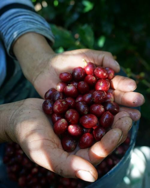Frutos de granos de café