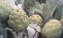 Alcauciles o alcachofas, como prepararlos